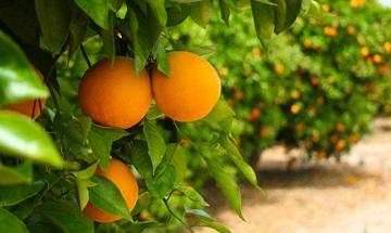 Происхождение слова «Апельсин»