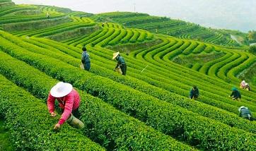 Чай на разных языках мира